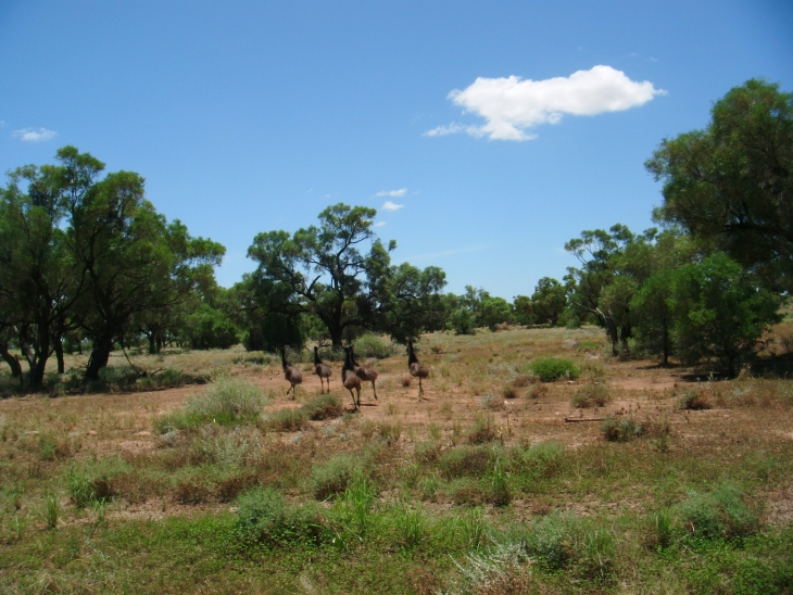 Emeus sauvages