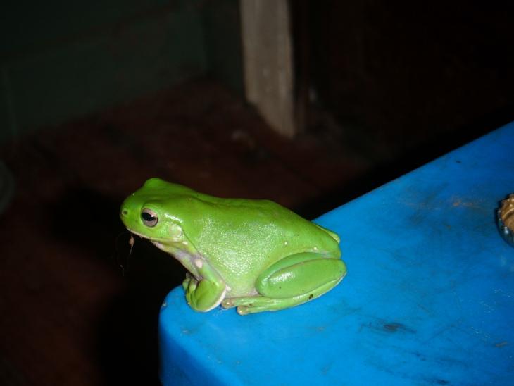 Une des plus jolies grenouilles
